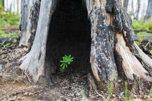 Lupine-Growing-in-Burned-Tree